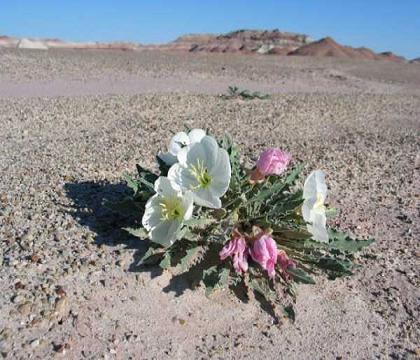 Fiori nel Deserto