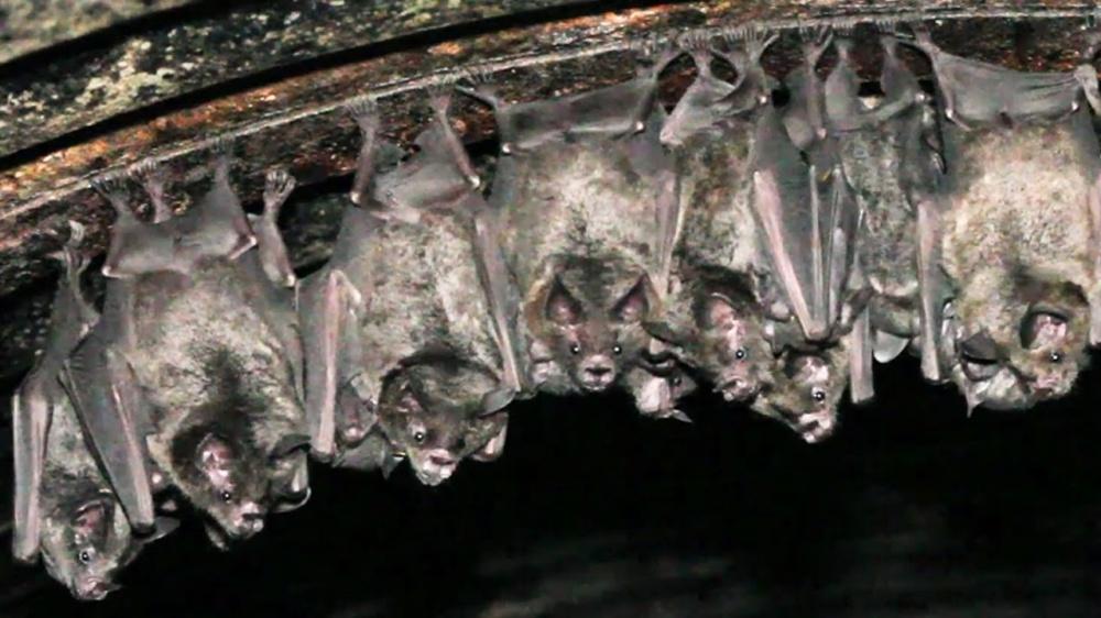 Pipistrelli ciechi